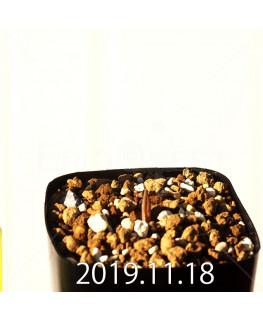 Lachenalia mediana DMC10319 Offset 18757