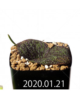 Massonia longipes EQ870 Seedling 19268