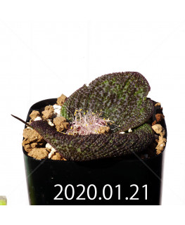 Massonia longipes EQ870 Seedling 19271