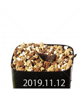 Massonia longipes EQ870 Seedling 19276