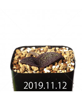 Massonia longipes EQ870 Seedling 19279