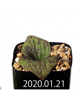 Massonia longipes EQ870 Seedling 19279