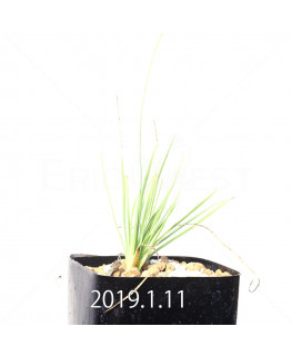 Lapeirousia silenoides Seedling