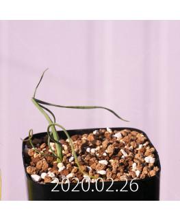 Geissorhiza corrugata EQ705 Seedling 19583