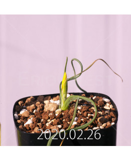 Geissorhiza corrugata EQ705 Seedling 19585