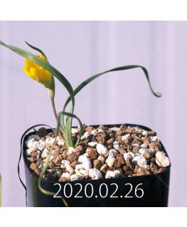 Geissorhiza corrugata EQ705 Seedling 19589