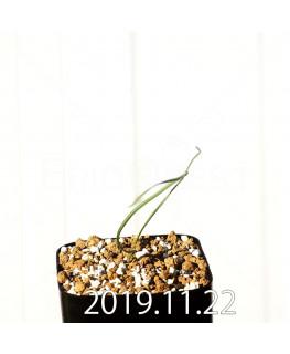 Geissorhiza corrugata EQ705 Seedling 19592