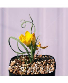 Geissorhiza corrugata EQ705 Seedling 19593