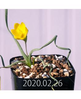 Geissorhiza corrugata EQ705 Seedling 19594