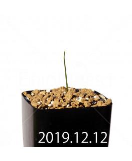 Lapeirousia azurea EQ723 Seedling 19916
