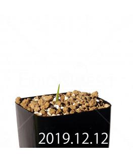 Lapeirousia azurea EQ723 Seedling 19925