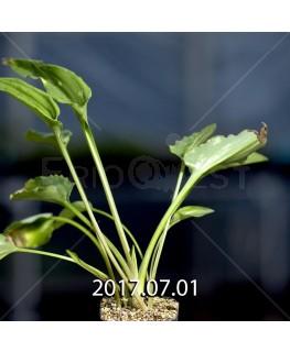 Drimiopsis maculata LAV30689 offset