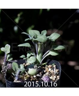 Senecio articulatus 'globous form'