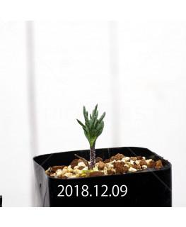 Eriospermum cervicorne MRO99