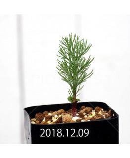 Eriospermum paradoxum Seedling