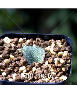 Resnova megaphylla Seedling