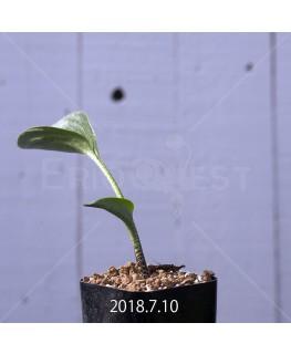 Drimiopsis atropurpurea Seedling