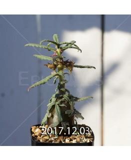 Dorstenia hildebrandtii forma crispum Seedling 5927