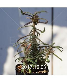 Dorstenia hildebrandtii forma crispum Seedling 5935