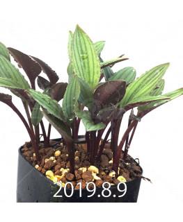 Drimiopsis sp. ES16596 Offset 6261
