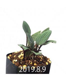 Drimiopsis sp. ES16596 Offset 6267