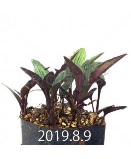 Drimiopsis sp. ES16596 Offset 6276