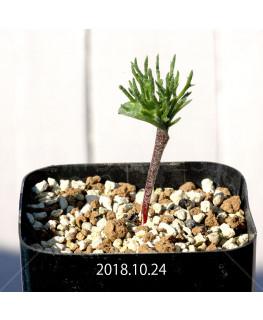 Eriospermum cervicorne MRO99 7161