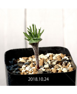Eriospermum cervicorne MRO99 7164