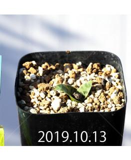 Lachenalia kliprandensis Seedling 7845