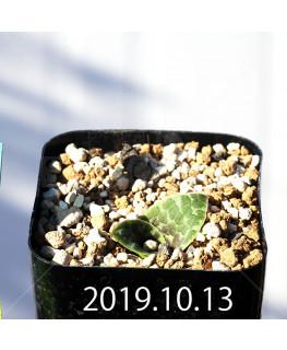 Lachenalia kliprandensis Seedling 7850