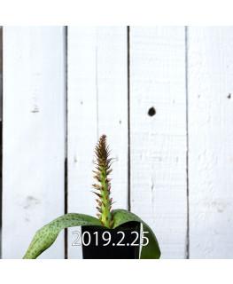 Lachenalia kliprandensis Seedling 7855
