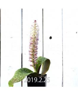 Lachenalia kliprandensis Seedling 7858
