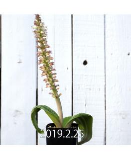 Lachenalia kliprandensis Seedling 7861