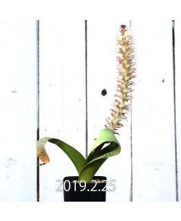 Lachenalia kliprandensis Seedling 7864
