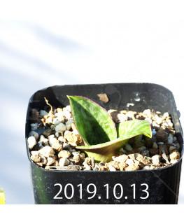 Lachenalia kliprandensis Seedling 7865
