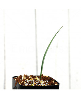 Ornithoglossum viride EQ439 Seedling 8263