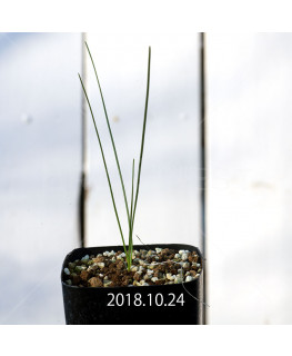 Wurmbea ixioides Seedling 8331