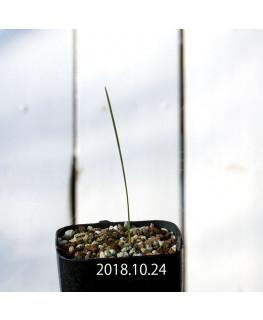 Wurmbea ixioides Seedling 8332