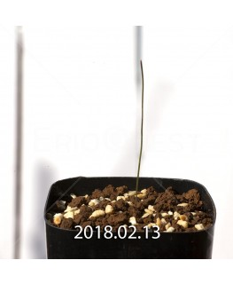 Wurmbea ixioides Seedling 8334
