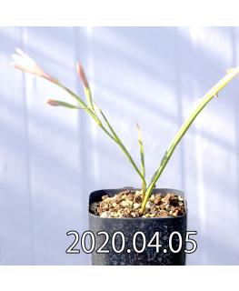 Geissorhiza confusa EQ463 Seedling 8441