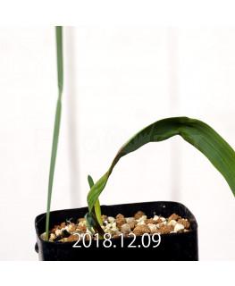 Gladiolus uysiae EQ465 Seedling 8484