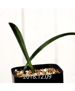 Gladiolus uysiae EQ465 Seedling 8491