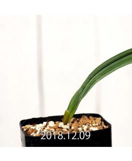Gladiolus uysiae EQ465 Seedling 8492
