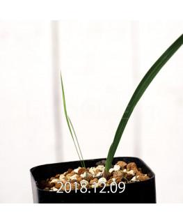 Gladiolus uysiae EQ465 Seedling 8493