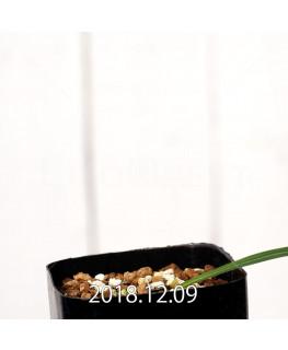 Gladiolus uysiae EQ465 Seedling 8503