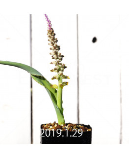 Lachenalia mutabilis EQ467 Seedling 8507