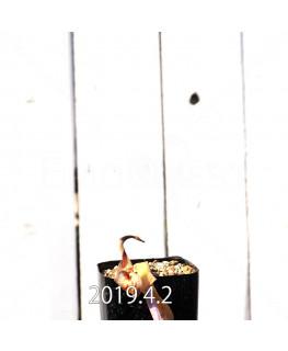 Lachenalia hybrid EQ483 Offset 8654