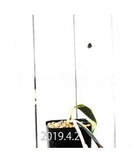 Lachenalia hybrid EQ483 Offset 8655