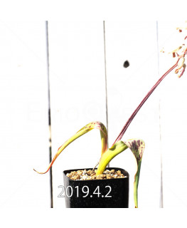 Lachenalia hybrid EQ483 Offset 8656