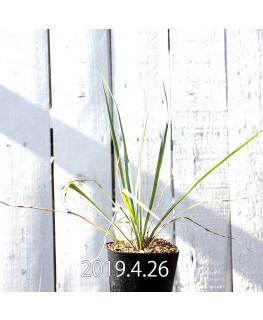 Yucca rigida EQ493 Seedling 8773